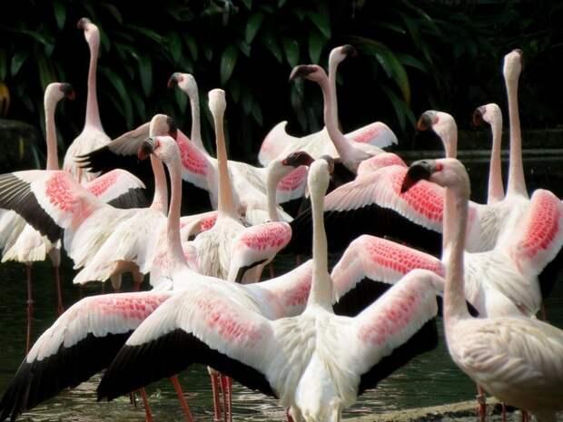 Почему фламинго розового цвета, и чем их кормят в зоопарках, чтобы они не побледнели