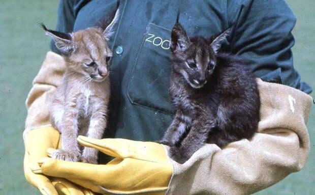 Каракал: Что это за Шлёпа, из-за которого кипит интернет последний месяц? «Большой русский кот» в дикой природе