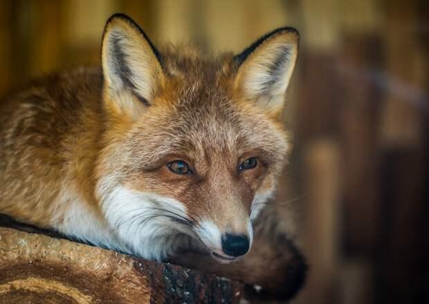 Больная бешенством лиса забралась в личное подсобное хозяйство в Удмуртии