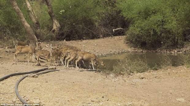Пока тишина... животные, охота, тигр