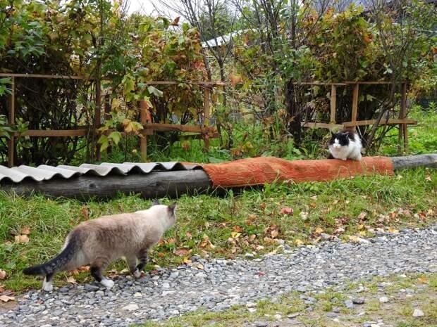 Котейки огородные