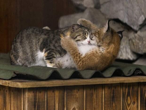 Рысь, которая была вскормлена и воспитана кошкомамой