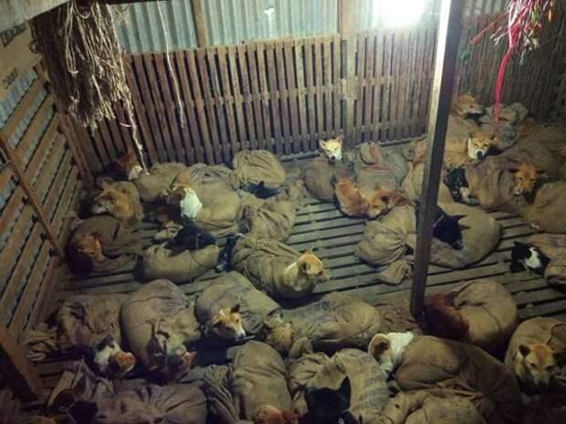 Спасение 36 собак, которых засунули в мешки и хотели увезти в рестораны на мясо
