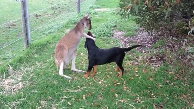 Видео: Как кенгуру играет с собакой, гладит ее и обнимает