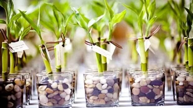 Растение удачи, или Как ухаживать за бамбуком