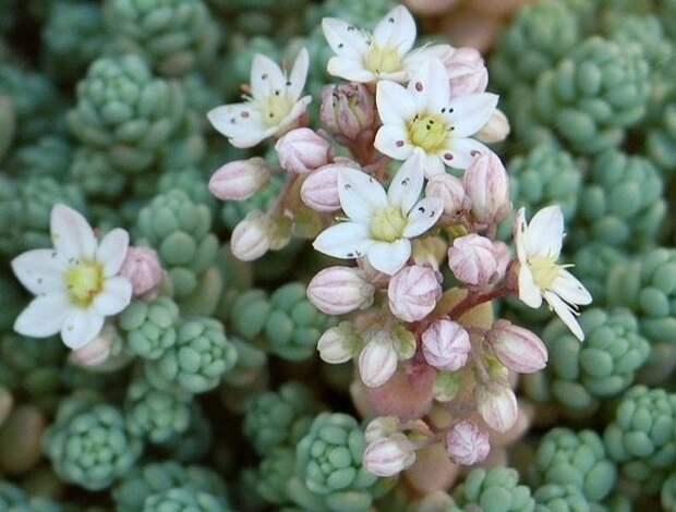 Какие почвопокровные растения можно высадить вместе с тюльпанами и нарциссами?