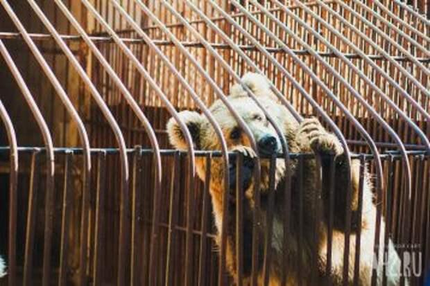 В кемеровском аэропорту задержали двух медвежат