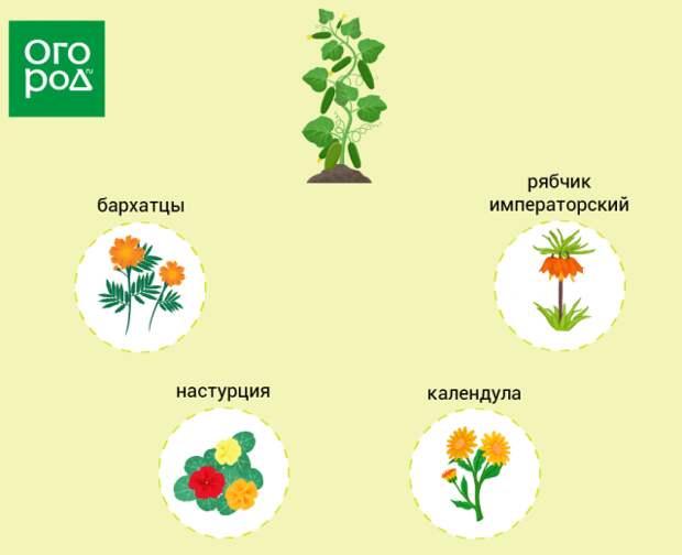 Какие цветы посадить рядом с огурцами