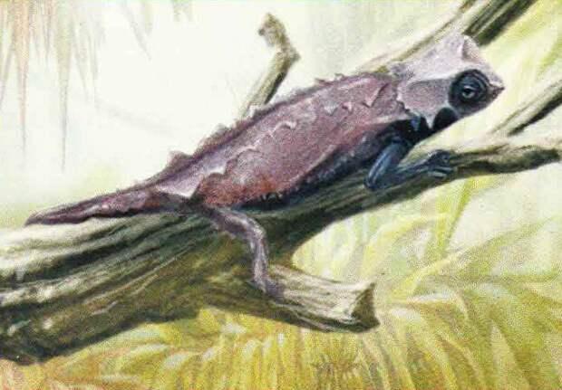 Брукезия  (Brookesia decaryi).