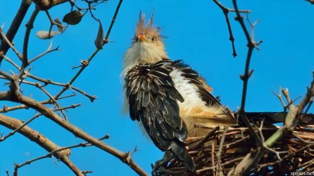 Гуира: Бесноватая ЯЖЕМАТЬ от мира птиц, устраивающая массовый геноцид во имя своих деточек (7 фото)