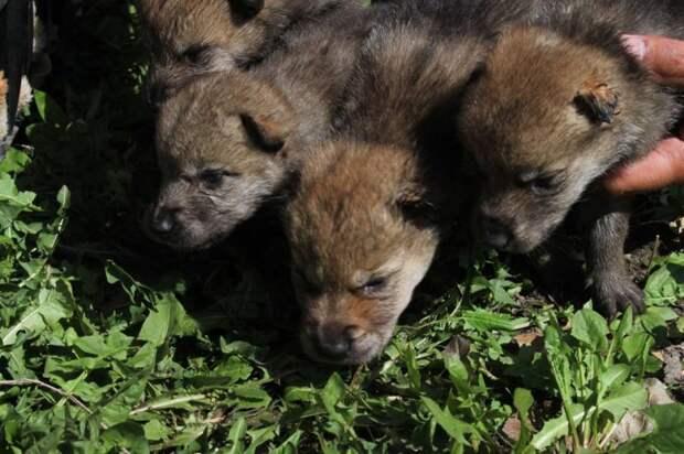В Казахстане спасли маленьких волчат и назвали их в честь лютоволков волки, интересное, казахстан, фото