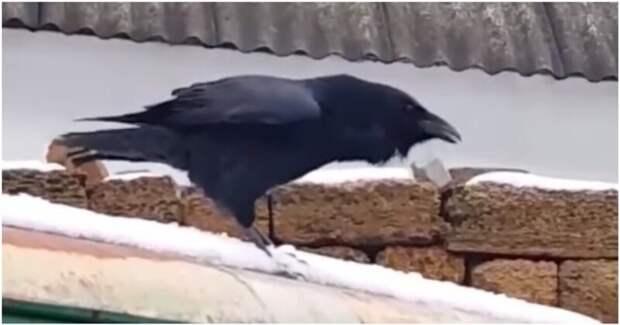 Ворон мастерски имитирует собачий лай