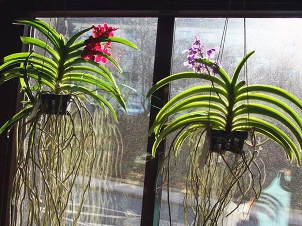 Выращивать ванду допустимо и в подвесной системе