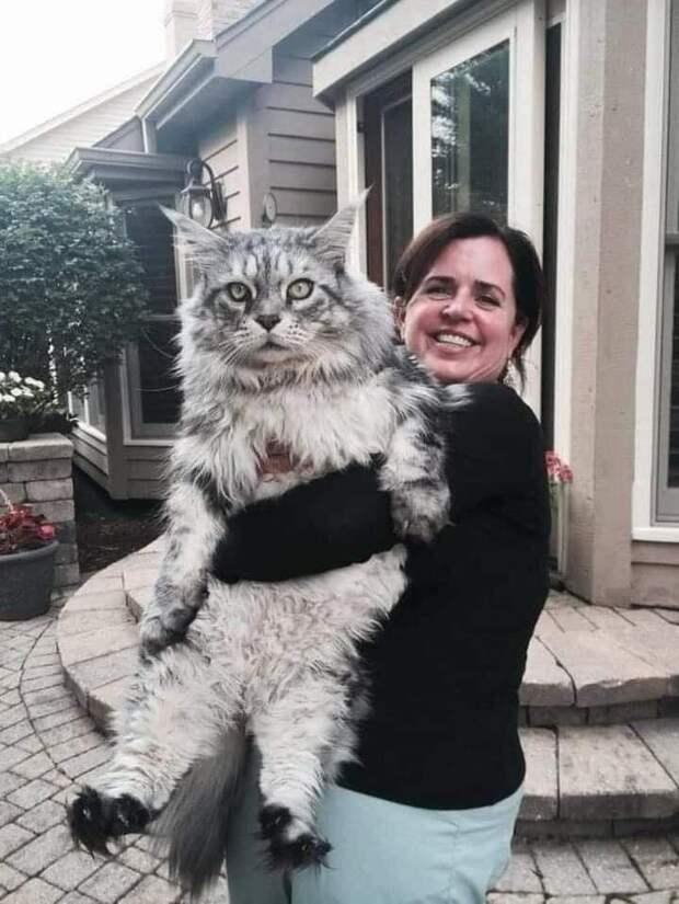 Цари: 10+ гигантских котов, которые вызывают трепет и восхищение