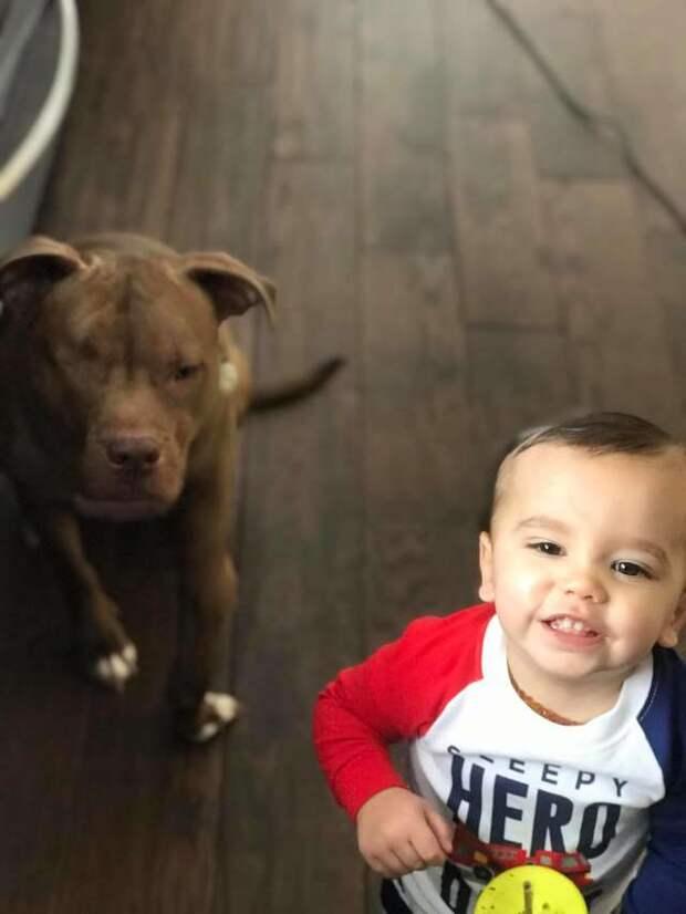 Вскоре Доусон выздоровел, стал активен и весел животные, история, мило, питбуль, про животных, собака, фото