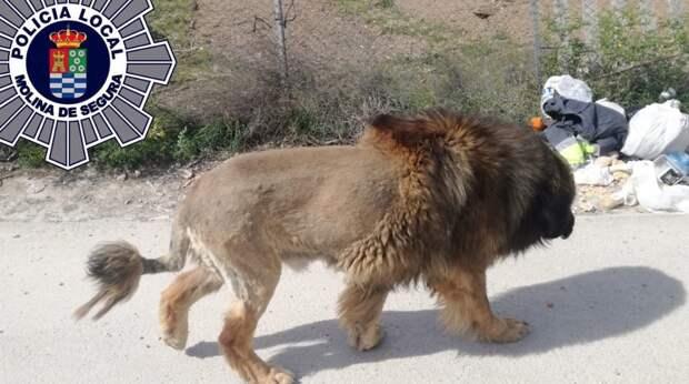 По парку спокойно гулял лев. Люди запаниковали, но напрасно, ведь это был не дикий зверь, а милый пёсик