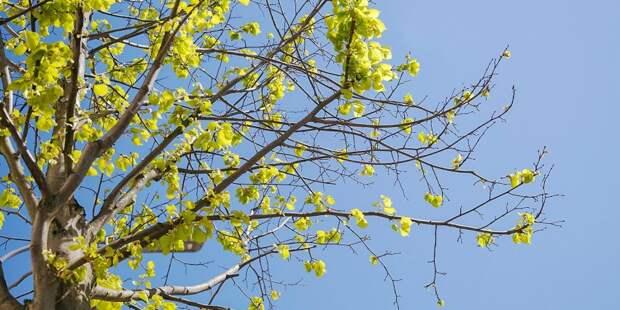 «Жилищник» обследует заслоняющее солнечный свет дерево в Песчаном переулке