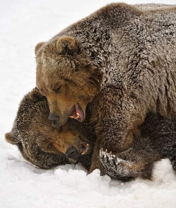 Игривая медвежья борьба и нежные медвежьи объятия борьба, медвежья