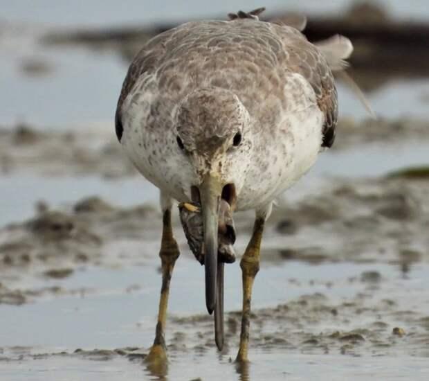 Редчайшая птица из России долетела до Австралии, где ее не видели ни разу