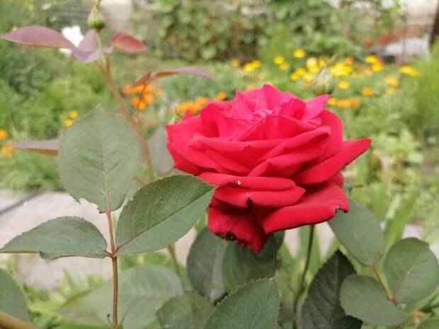 Получилось укоренить черенки любимой розы. Теперь задача - сохранить их до весны