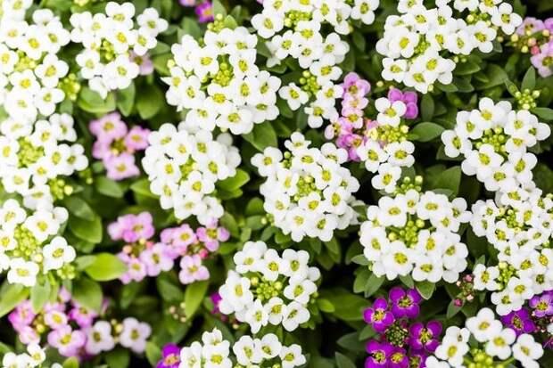 Лобулярия – кроха с медовым ароматом для клумбы и вазона