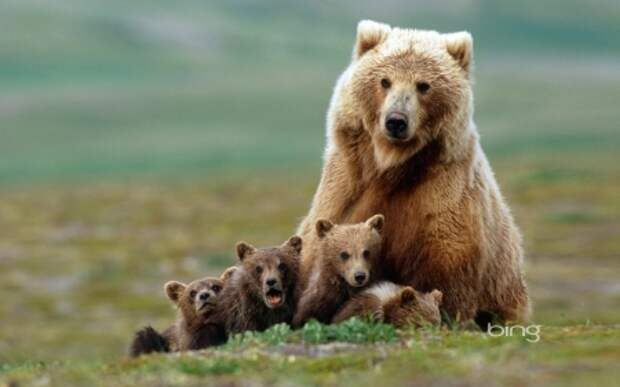 Grizzly Bear Mom - Bears & Animals Background Wallpapers on ...