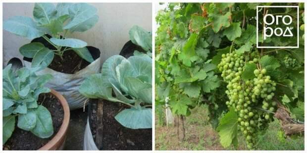 капуста и виноград