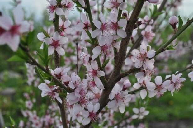 Цветение персика в питомнике Семишова
