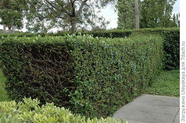 Эскаллония красная в живой изгороди. Фото с сайта plants.squakmtnursery.com