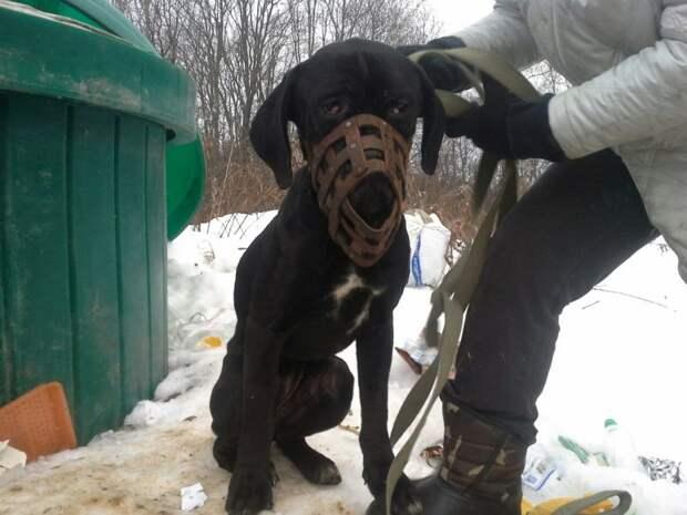 Кане-корсо из последних сил карабкалась по стенам глубокого мусорного бака большая собака, волонтер, история, кане-корсо, порода, собака
