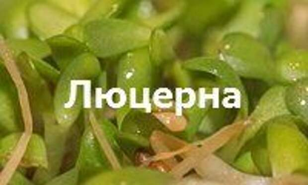 Люцерна