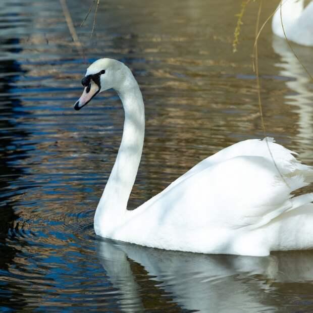 Весенняя традиция: лебеди Московского НПЗ вернулись в пруд в Капотне