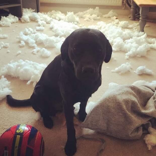 Ему просто было скучно виноватые собаки, животные, собака раскаивается, собаки