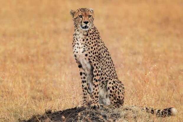 Естественные враги гепарда