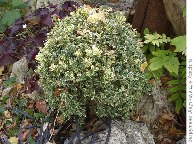 Самшит вечнозеленый Желтоокаймленный