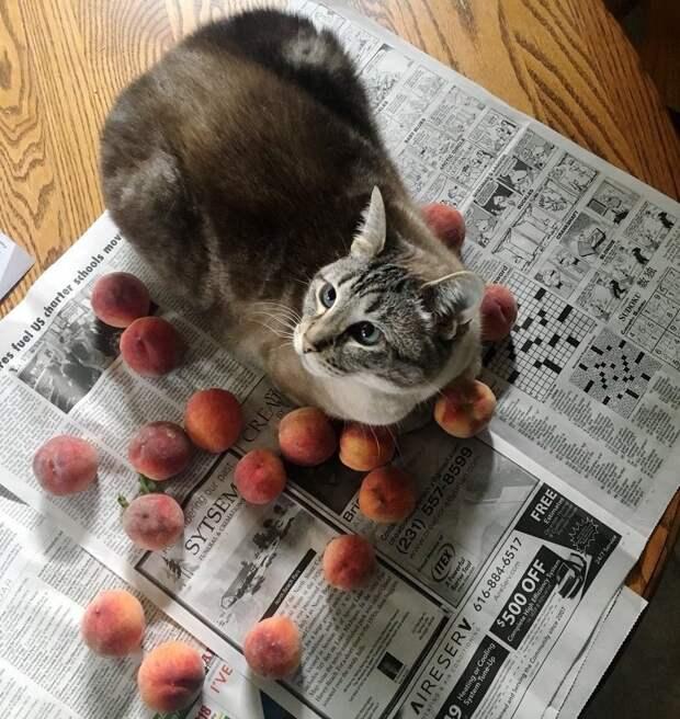 кот с персиками