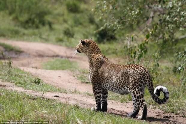 Начало охоты бородавочник, животные, леопард, охота, рыжок
