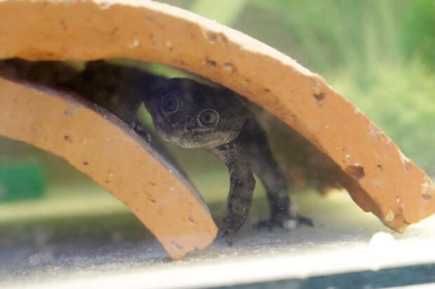 Чилийцы добились размножения редчайших лягушек из пустыни Атакама