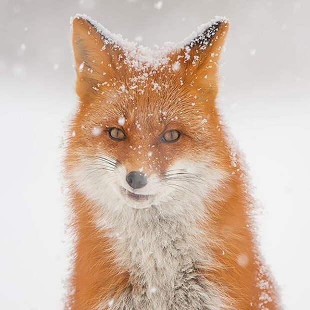 Что делают камчатские лисы, когда их никто не видит? (ФОТО)