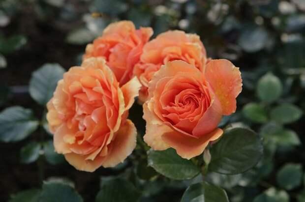 Розы и клематисы. Особенности подготовки цветов к холодам
