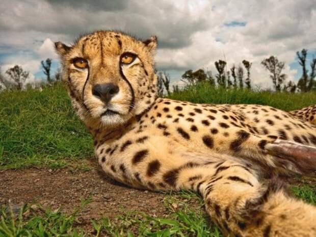 Интересные факты о гепарде