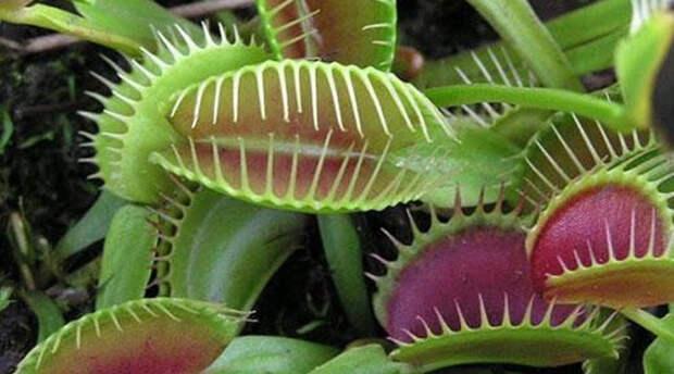 Плотоядные цветы: растения, которые едят живые создания