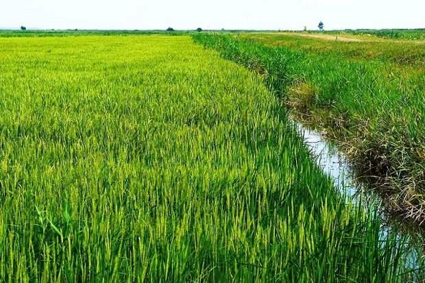 На Кубани в нынешнем году соберут более 800 тысяч тонн риса
