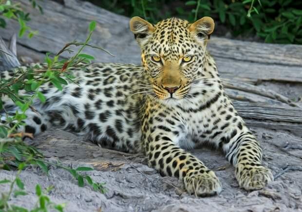 «Земля леопардов» показала свидание хищников