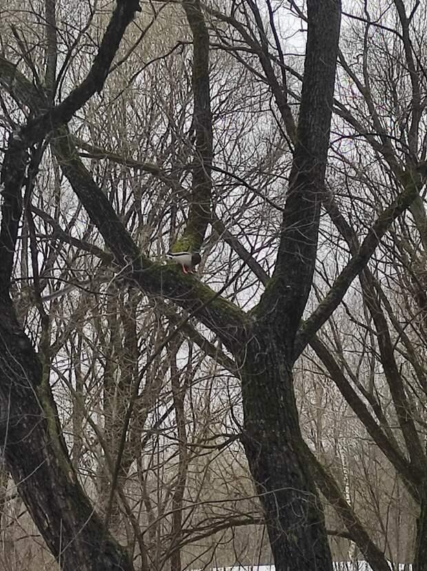 Фото дня: в Лосинке утка забралась на дерево