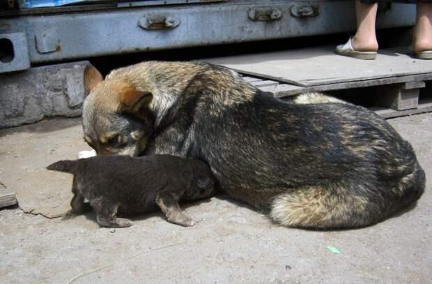Звания Собачей Мамы с большой буквы, достойна эта обычная дворняга