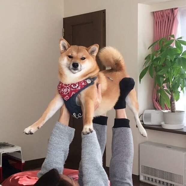 Хоть я и не люблю йогу, но ладно... Только ради тебя! домашние животные, животные, мило, очаровательно, собаки, трогательно, шиба ину, щенки