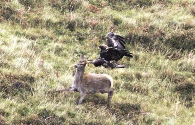 Редкие кадры охоты беркута на оленя Dawid Banasiak, беркут, кадры, олень, охота