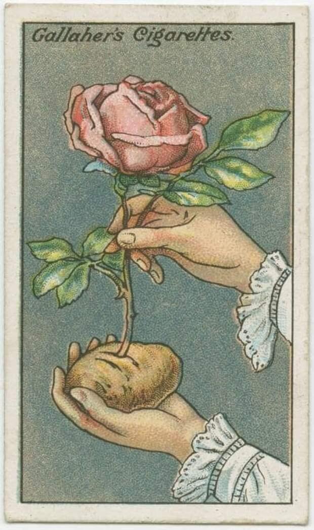 7. Как укоренить розу в картошке выживание, инструкция, интересное, история, лайфхаки, полезное, ретро фото, советы