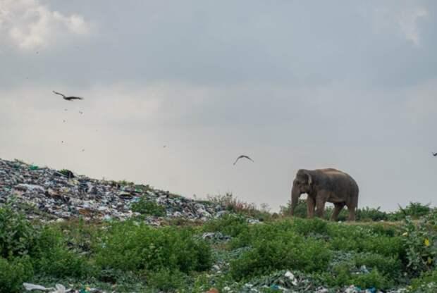 Фотограф показал душераздирающие снимки с копающимися в мусоре слонами